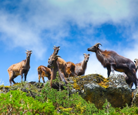 Wild goats in Himalaya mountains  photo