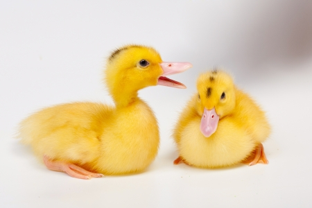 Little duck isolated on white background photo