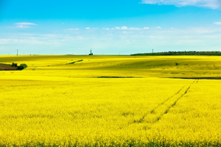 Landscape with yellow rapeseed field  photo