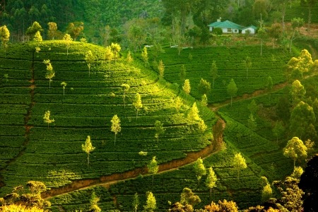 tea estates: Landscape with green fields of tea in Sri Lanka