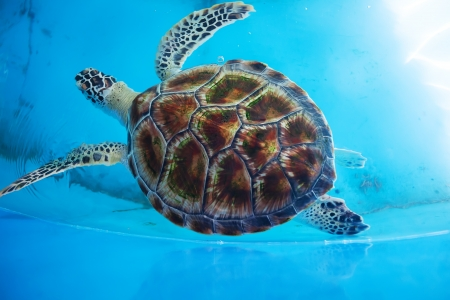 Adult turtle swims in pool of Sea Turtles Conservation Research Project in Bentota south, Sri Lanka 版權商用圖片