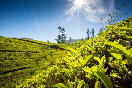 agriculture sri lanka: Landscape with green fields of tea in Sri Lanka