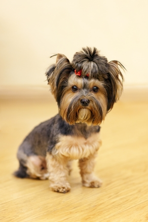 yorky: yorkshire terrier