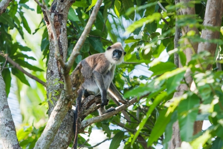 gray langur: Monkey in jungles of Sri Lanka Stock Photo