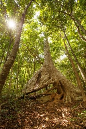 bark rain tree: Huge tree with big roots in middle of jungles of Sri Lanka