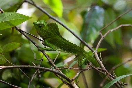 lagartija: Camale?n verde en la rama de un ?rbol en el Bosque Singharaja en Sri Lanka
