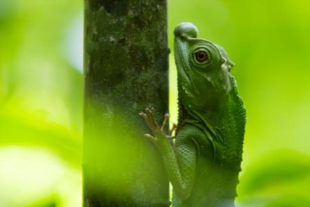 Green chameleon at tree branch in Singharaja Forest in Sri Lanka photo