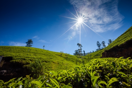 Landscape with green fields of tea in Sri Lanka