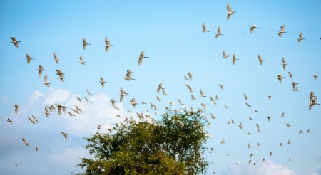 yala: Egret flock flying at lake in Sri Lanka