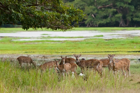 axis deer: Herd of Sri Lankan axis deer in Yala national park Stock Photo