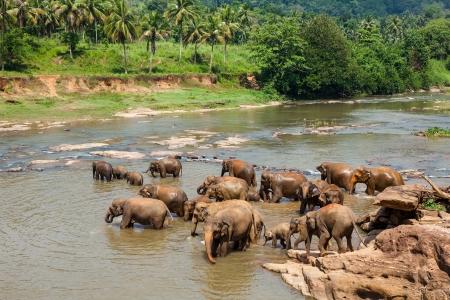 orphanage: Elephants of Pinnawala elephant orphanage bathing in river