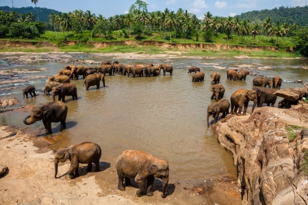 Elephants of Pinnawala elephant orphanage bathing in river