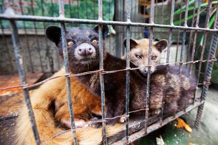 kopi: Asian Palm Civet produces Kopi luwak Stock Photo