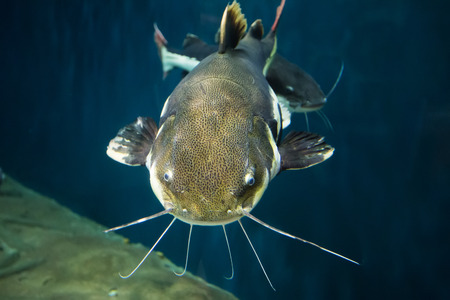 Closeup of a tropical redtail catfish