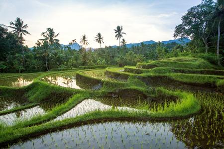 Bali Terrazze di riso. Campi di riso di Jatiluwih Archivio Fotografico - 35703167