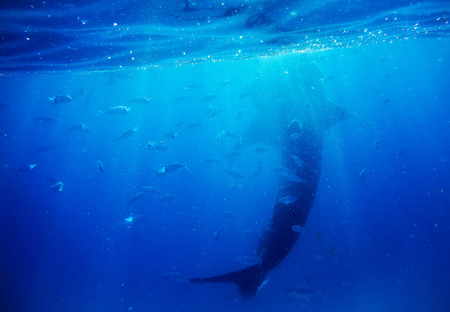 gigantic: Underwater shoot of a gigantic whale shark
