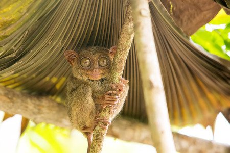 freaked: Tarsier the worlds smallest primate in Bohol, Philippines