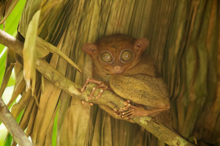 smallest: Tarsier the worlds smallest primate in Bohol, Philippines
