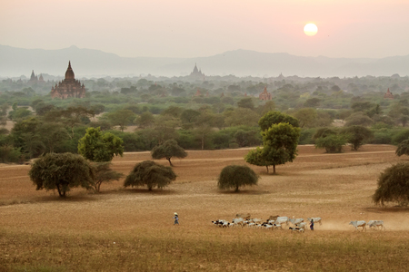 herder: Burmese herder leads cattle herd through sunset landscape with ancient Buddhist pagodas at Bagan. Myanmar
