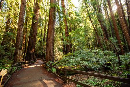 Muir woods National Monument near San Francisco in California, USA 免版税图像