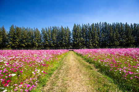 green walkway between cosmos flower in field with pine photo