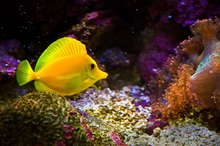zebrasoma yellow salt water aquarium fish photo