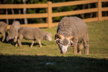 merino sheep photo