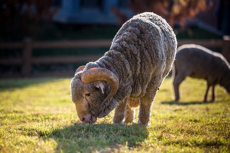 dorset: merino sheep