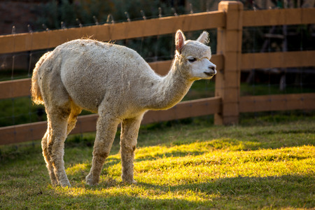 A brown and white alpaca, with green field behind  Shallow depth of field, room for text  photo