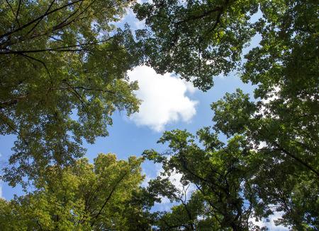 lussureggiante: Nuvole bianche circondate da alberi rigogliosi contro un bel cielo limpido Archivio Fotografico