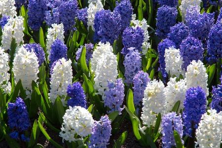 flowers in holland garden Keukenhof Netherlands