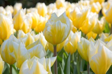 Fresh colorful tulips flower Kuekenhof Netherland