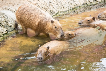 Close up of a Capybara Hydrochoerus hydrochaeris and two babies in a lake. Stock Photo