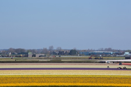 Dutch Tulips in the Field Ready for Harvest Stock Photo