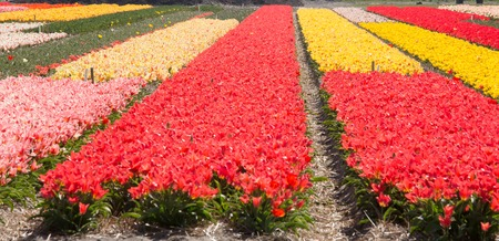 harvest field: Dutch Tulips in the Field Ready for Harvest Stock Photo