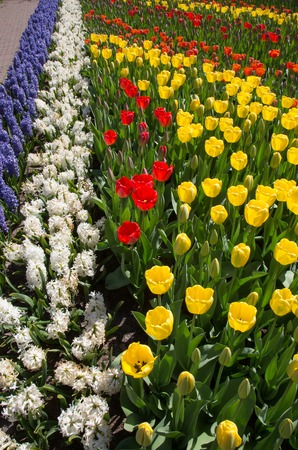 the tulip river in the royal park Keukenhof.