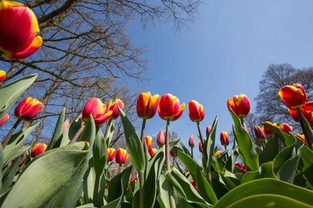 Red yellow tulip field in Holland, keukenhof