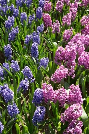 Muscari flowers in holland garden Keukenhof, Netherlands
