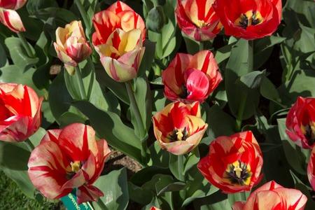 fields of tulips in Keukenhof park in Netherlands