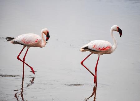nakuru: Pair of flamingos in Nakuru, African lake