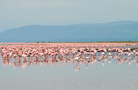 nakuru: flock of flamingos at Lake Nakuru, Africa