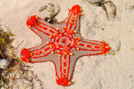 Starfish on the beach of Zanzibar island photo