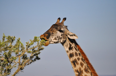 Giraffe feeding on an acacia in Africa photo