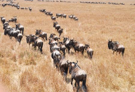 Masai Mara wildebeest migration in Tanzania, Africa. photo