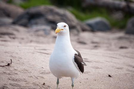 larus: Photo kelp gull, Larus dominicanus