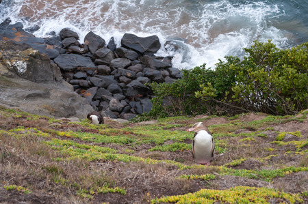 oamaru: Yellow-eyed penguin on the east coast of New Zealand Stock Photo