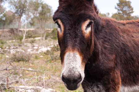 mediterranean countries: portrait of a catalonian donkey in Mallorca, Balearic Islands, Spain