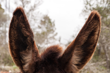 brown haired: foregraund of donkey ears with brown haired Stock Photo