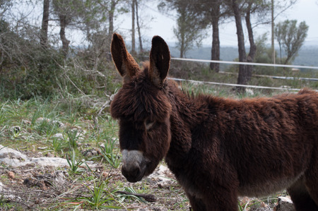 mediterranean countries: portrait of a Catalan donkey breeding in Mallorca, Balearic Islands, Spain