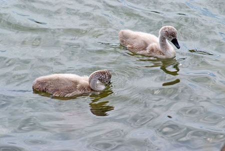 Small swans photo